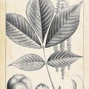 Vintage Hickory Tree Digital Print by Nuttall, Thomas,Illustration
