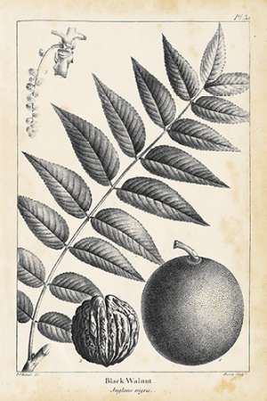 Vintage Black Walnut Tree Digital Print by Nuttall, Thomas,Illustration