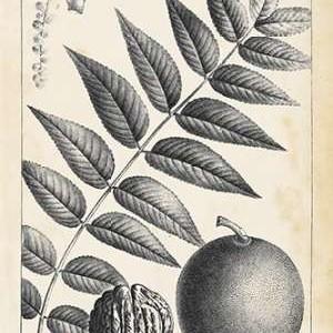 Vintage Black Walnut Tree Digital Print by Nuttall, Thomas,Illustration