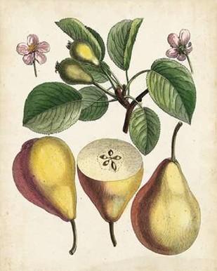 Antique Pear Study II Digital Print by Unknown,Realism