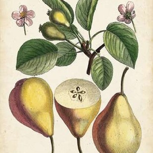 Antique Pear Study II Digital Print by Unknown,Realism
