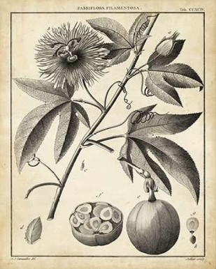 Passiflora I Digital Print by Sellier,Decorative