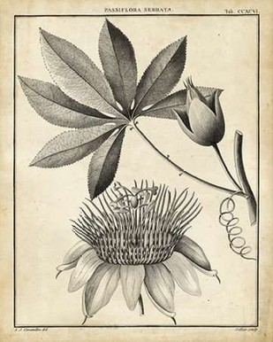 Passiflora II Digital Print by Sellier,Decorative