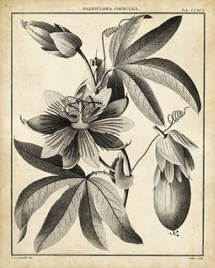Passiflora III Digital Print by Sellier,Decorative