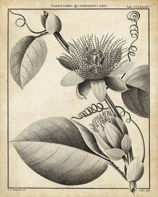 Passiflora IV Digital Print by Sellier,Decorative