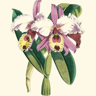 Magnificent Orchid I Digital Print by Vision Studio,Decorative