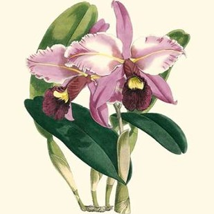 Magnificent Orchid III Digital Print by Vision Studio,Decorative