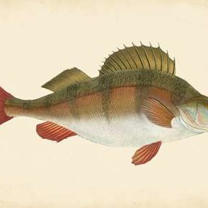 Donovan Antique Fish I Digital Print by Donovan,Decorative