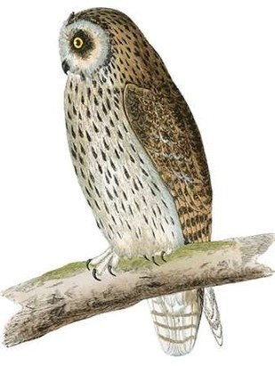 Morris Short Eared Owl Digital Print by Morris,Decorative