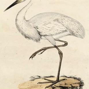Antique Heron III Digital Print by Unknown,Realism