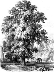 The Elm Tree Digital Print by Unknown,Illustration