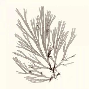 Seaweed Collection IX Digital Print by Vision Studio,Realism