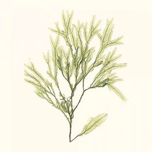Seaweed Collection VII Digital Print by Vision Studio,Realism