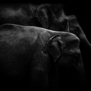 Elephant Family by Runjiv J. Kapur, Image Photography, Digital Print on Canvas, Black color