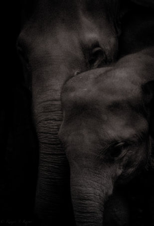 Mother & baby Elephant by Runjiv J. Kapur, Image Photography, Digital Print on Canvas, Black color