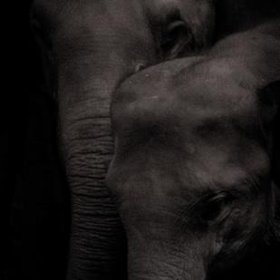 Mother & baby Elephant by Runjiv J. Kapur, Image Photography, Digital Print on Canvas, Black color