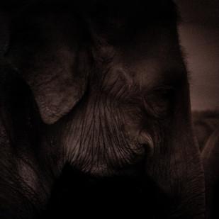 Brown Elephant by Runjiv J. Kapur, Image Photography, Digital Print on Canvas, Black color