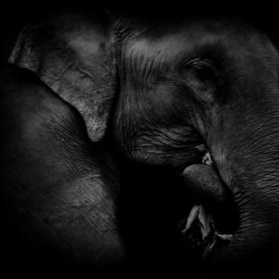 Elephant eating leaves by Runjiv J. Kapur, Image Photography, Digital Print on Canvas, Black color