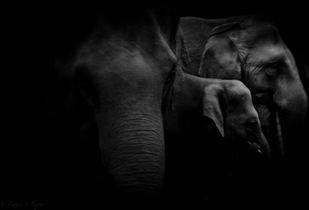 Elephants eating cane by Runjiv J. Kapur, Image, Image Photography, Digital Print on Canvas, Black color