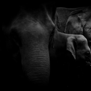 Elephants eating cane by Runjiv J. Kapur, Image, Image Photography, Digital Print on Canvas, Black color