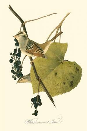Audubons Finch Digital Print by Audubon, John James,Decorative