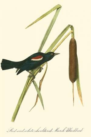 Audubons Blackbird Digital Print by Audubon, John James,Decorative
