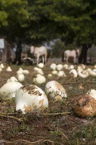 Drying the pumpkins to make them sing by Ankit Agrawal, Image Photography, Digital Print on Archival Paper, Brown color