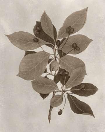 Arbor Specimen I Digital Print by Vision Studio,Decorative