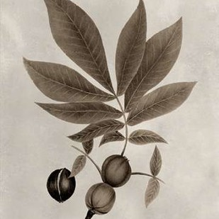 Arbor Specimen VI Digital Print by Vision Studio,Decorative