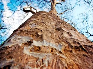 Pyramid Tree by Satvir Jogi, Image Photography, Digital Print on Enhanced Matt, Brown color