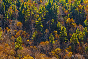 Sunlit Mountain Trees, Gangotri National Park, UT by Minhajul Haque, Image Photography, Print on Paper, Brown color