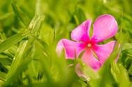 Pink Vinca Rose by Natraj Vemuri, Image Painting, Digital Print on Archival Paper, Green color