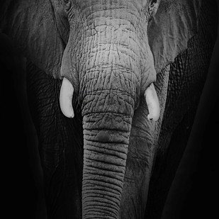 Tusker by Shuchi Pandya, Image Photography, Digital Print on Paper,