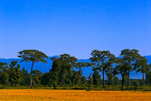 Gold Field by Minhajul Haque, Image Photography, Inkjet Print on Archival Paper, Blue color
