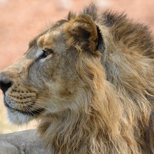 GLIMPSES OF INDIA 2 Portrait of Lion King by Anil Sharma, Image Photography, Digital Print on Archival Paper, Beige color