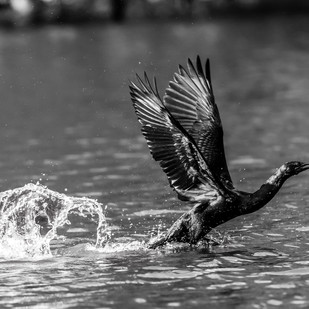 Indian Cormorant Taking-off from the River by Vishnuprasad R Jahagirdar, Image Photography, Inkjet Print on Archival Paper, Gray color